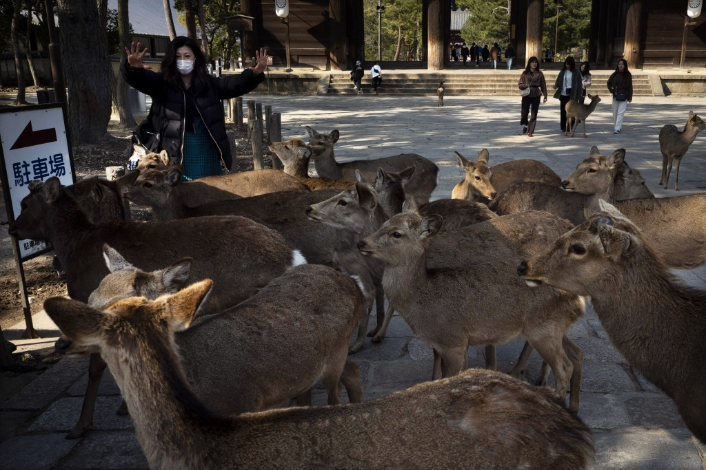 Surrounded by deer, a tourist shows her empty hands after feeding them crackers, treats made mostly with wheat flour and rice bran, near Todaiji templ...