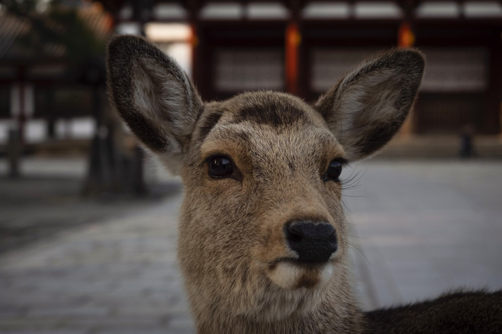 A deer stands in front of a gate outside Todaiji temple in Nara, Japan, Tuesday, March 17, 2020. (AP Photo/Jae C. Hong)