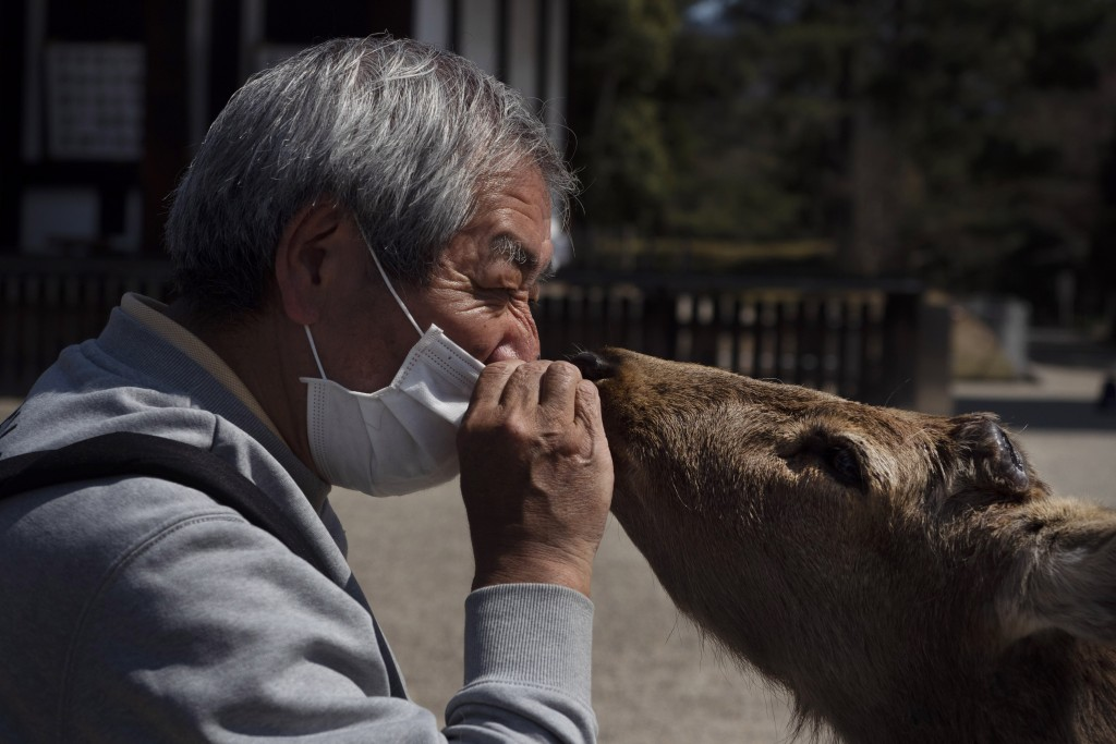 A tourist feeds a dear specially made deer crackers while visiting a temple in Nara, Japan, Thursday, March 19, 2020. (AP Photo/Jae C. Hong)