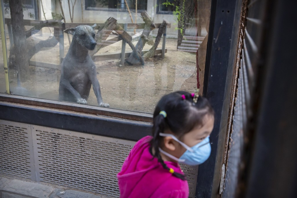 A Mexican hairless dog looks at a girl wearing a face mask at the Beijing Zoo after it reopened its outdoor exhibit areas to the public for the first ...
