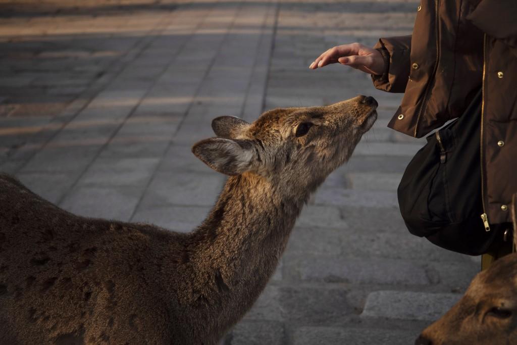 A tourist pat a deer in Nara, Japan, Tuesday, March 17, 2020. (AP Photo/Jae C. Hong)