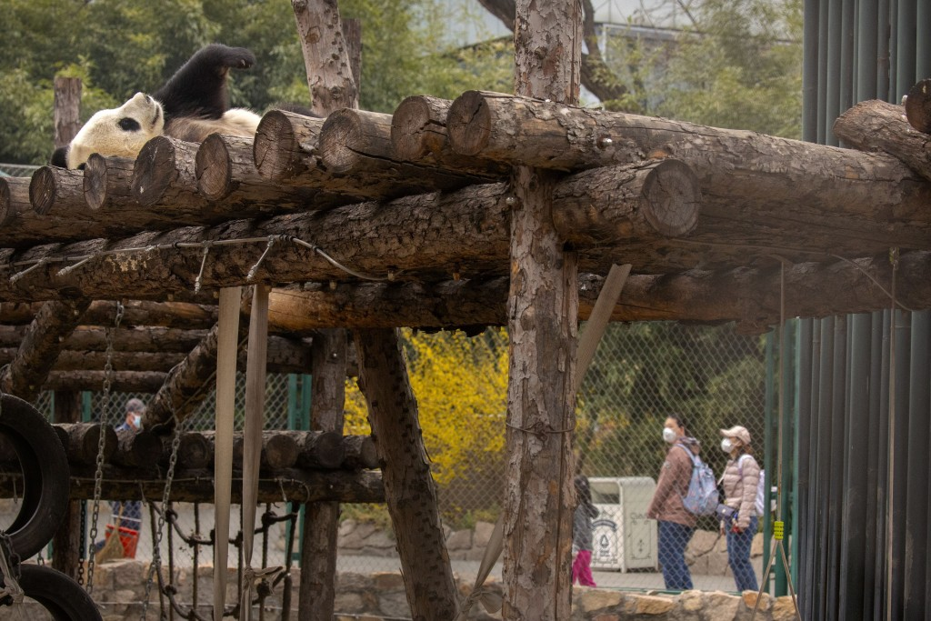 Visitors wearing face masks look at a giant panda exhibit at the Beijing Zoo after it reopened its outdoor exhibit areas to the public for the first t...