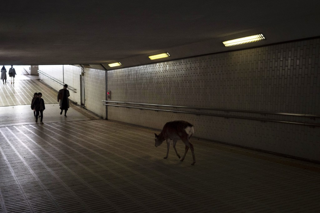 A deer walks through an underpass in search for food in Nara, Japan, Tuesday, March 17, 2020. More than 1000 deer roam free in the ancient capital cit...
