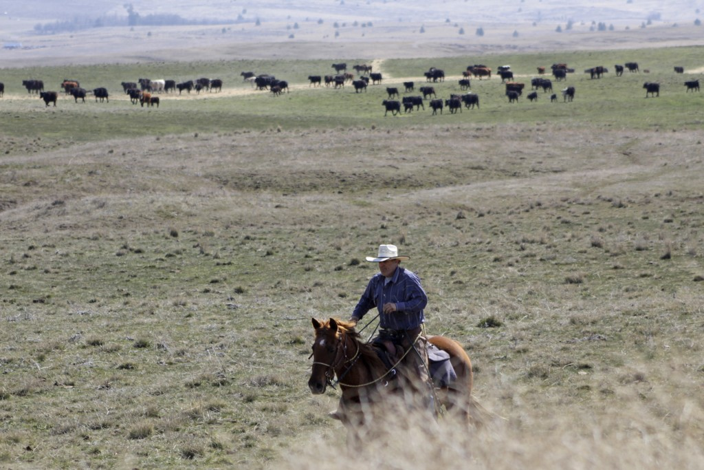 In this photo taken March 20, 2020, cattle rancher Joe Whitesell rides his horse in a field near Dufur, Oregon, as he helps a friend herd cattle. Tiny...