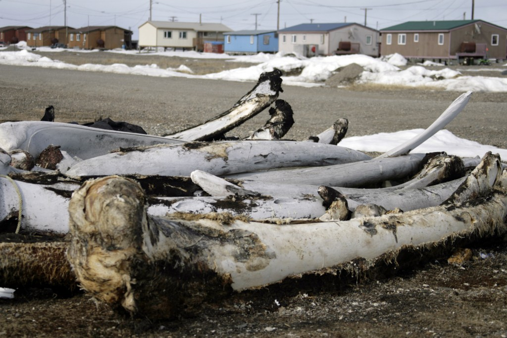 FILE - In this Oct. 13, 2006, file photo, whale bones from past hunts sit in the village Point Hope, Alaska. The pandemic's toll in big U.S. cities li...
