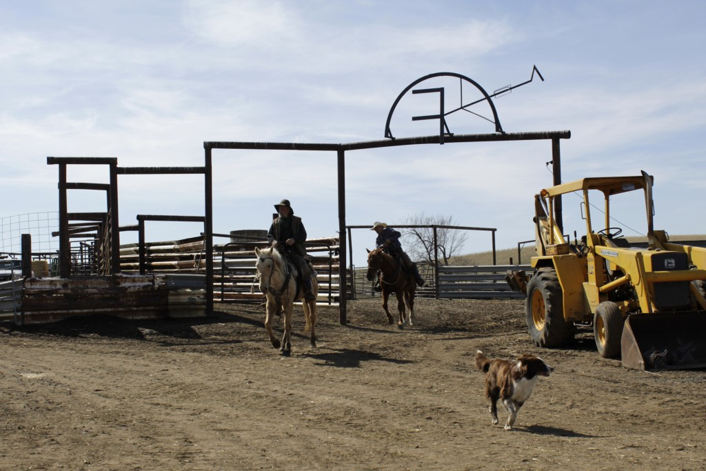 In this photo taken March 20, 2020, cattle rancher Mike Filbin, front, and his friend, Joe Whitesell, behind, prepare to herd cattle at Filbin's ranch...