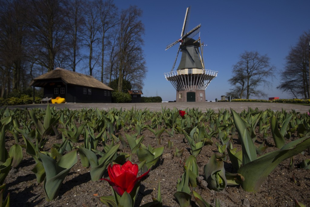 The first tulips start to blossom at the empty, world-renowned, Dutch flower garden Keukenhof which was closed because of the coronavrius, in Lisse, N...