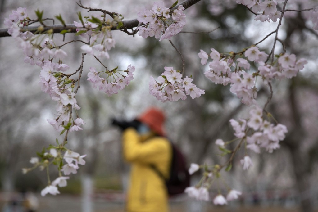 A visitor wearing a face mask takes photos near cherry blossoms at the Yuyuantan Park in Beijing on Thursday, March 26, 2020. While many of the city's...