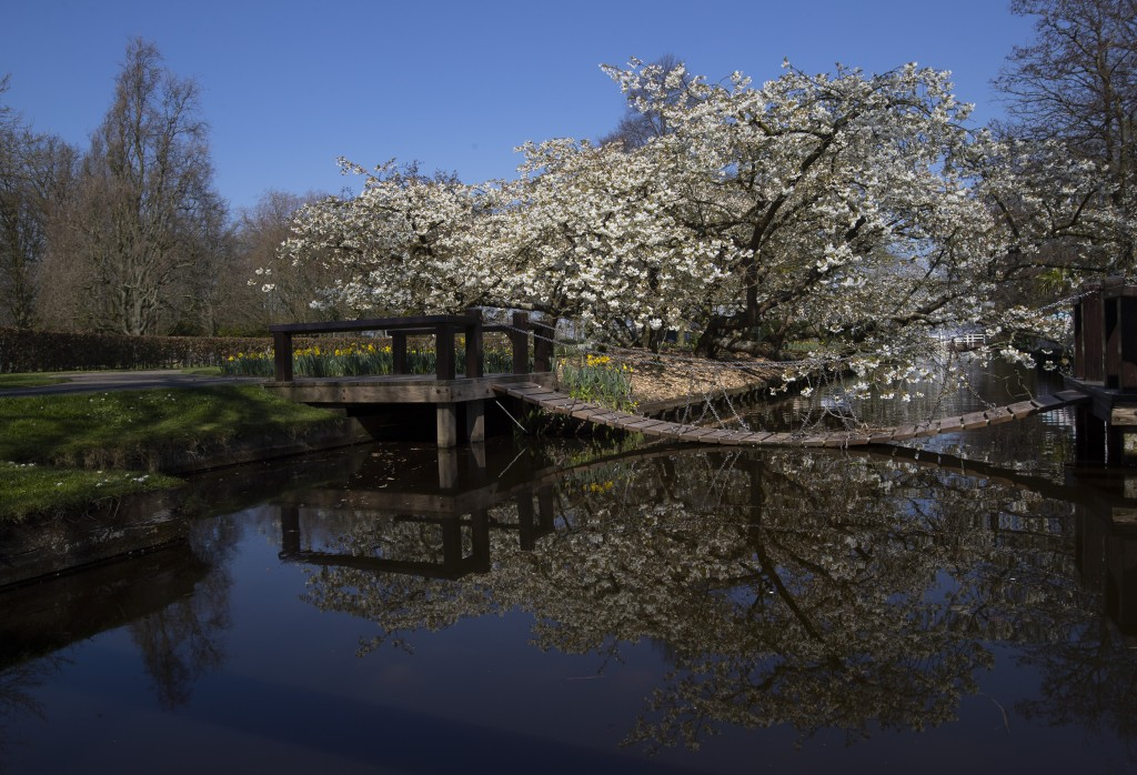 Cherry trees blossom at the empty, world-renowned, Dutch flower garden Keukenhof which was closed because of the coronavirus, in Lisse, Netherlands, T...