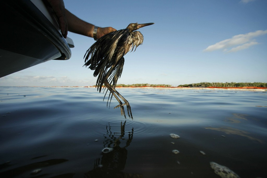 FILE - In this June 26, 2010 file photo, Plaquemines Parish Coastal Zone Director P.J. Hahn rescues a heavily oiled bird from the waters of Barataria ...