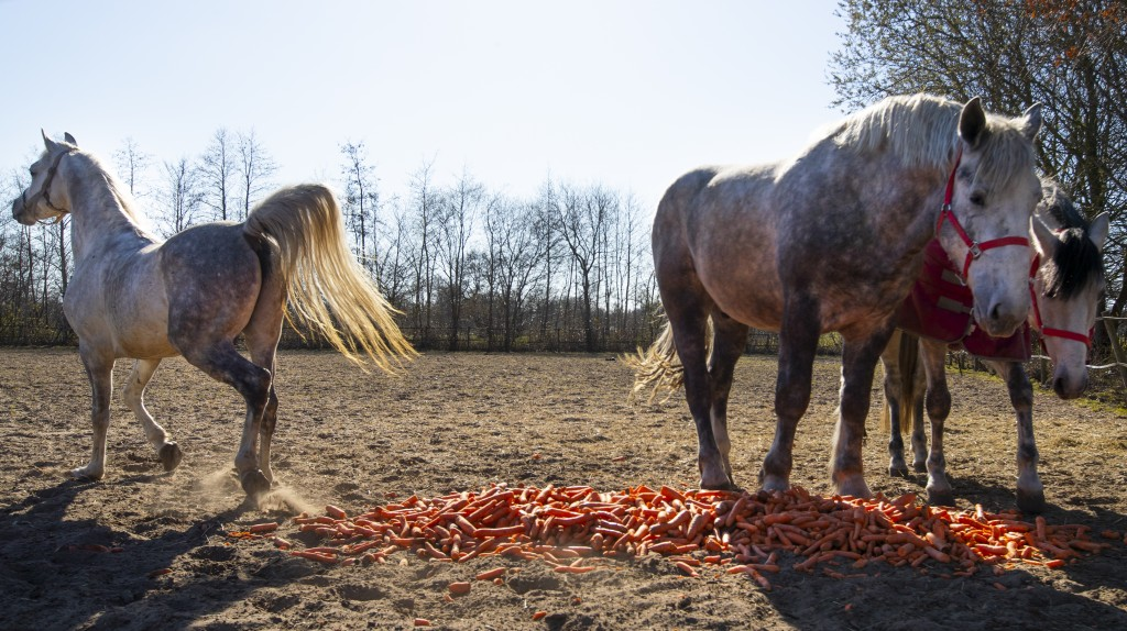 Horses of the stranded Renz Circus feast on carrots donated by local farmers in Drachten, northern Netherlands, Tuesday, March 31, 2020. The circus fl...
