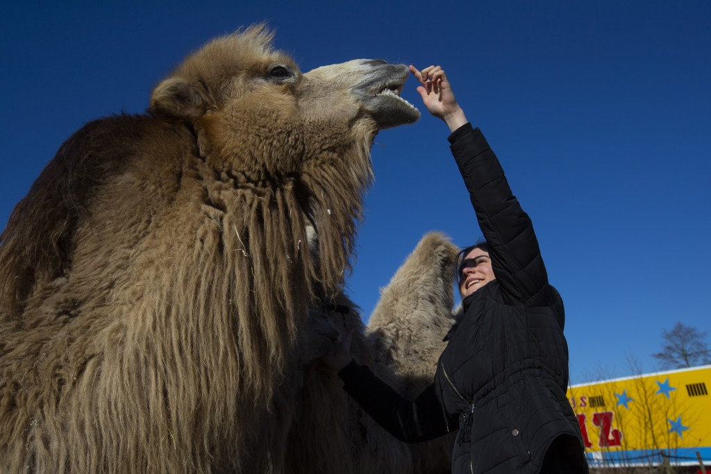 Madeleine Renz, an eighteen-year-old circus artist, cuddles one of the eight Siberian Steppe camels, stranded in Drachten, northern Netherlands, Tuesd...