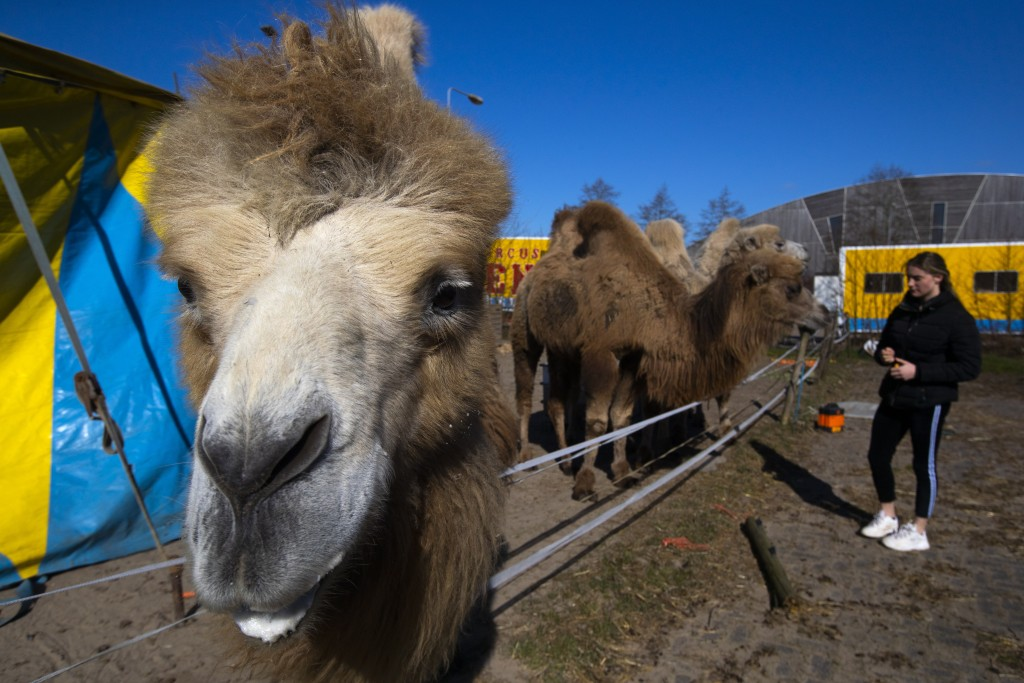 Madeleine Renz, an eighteen-year-old circus artist, feeds donated carrots to one of the eight Siberian Steppe camels, stranded in Drachten, northern N...