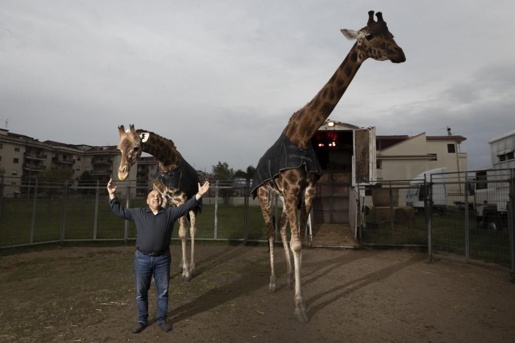 Davio Casartelli, 64-year-old elephant and giraffe trainer proudly shows his giraffes Piccola, left, and Lamia, at the Romina Orfei Circus, parked in ...