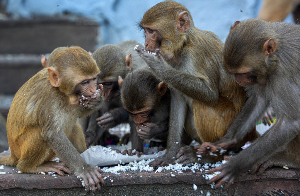 Monkeys eat puffed rice distributed by social workers near a Hindu temple during nationwide lockdown in Gauhati, India, Thursday, April 23, 2020. As g...