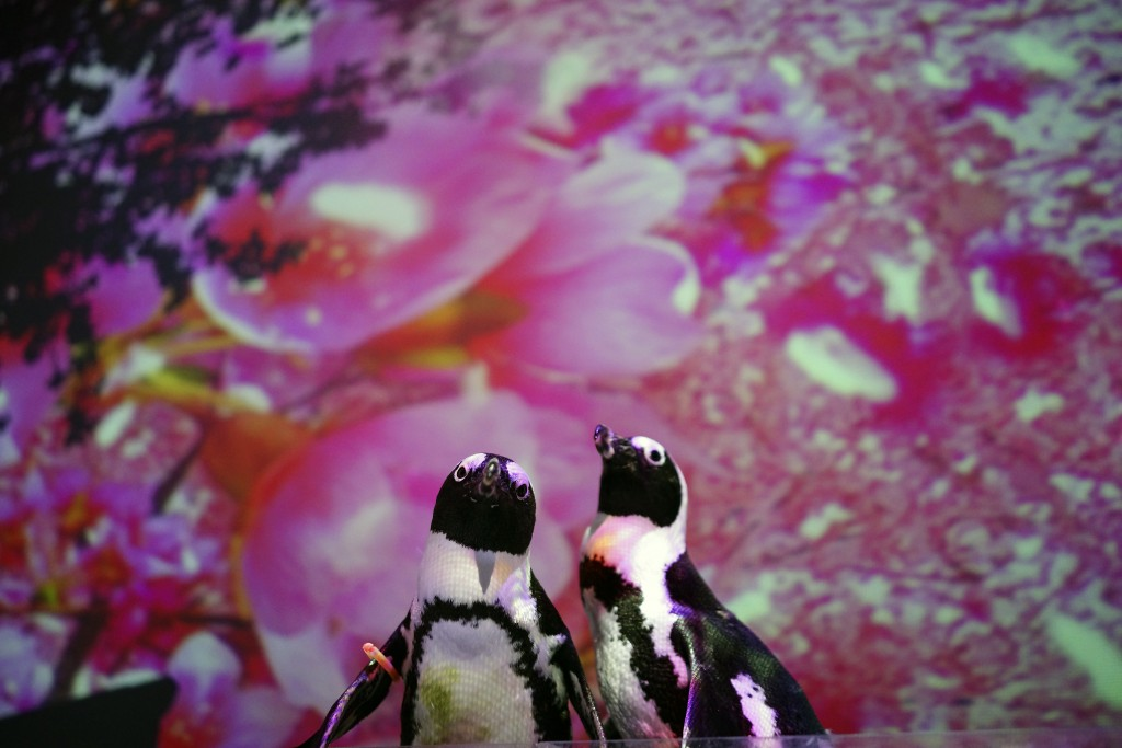 The Cape penguins named Momo, left, and Omochi, right, perform for a video program on the website at Aqua Park Shinagawa during a media preview in Tok...