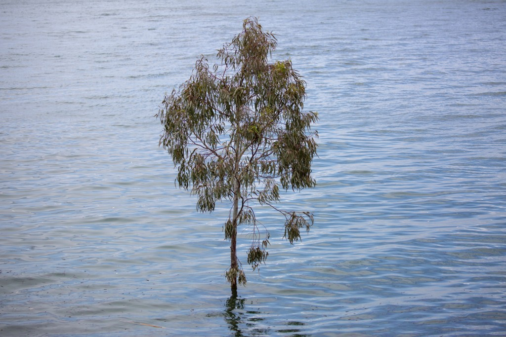 In this Saturday, April 25, 2020 photo, a tree stands where dry land used to be in the Sea of Galilee, locally known as Lake Kinneret. After an especi...