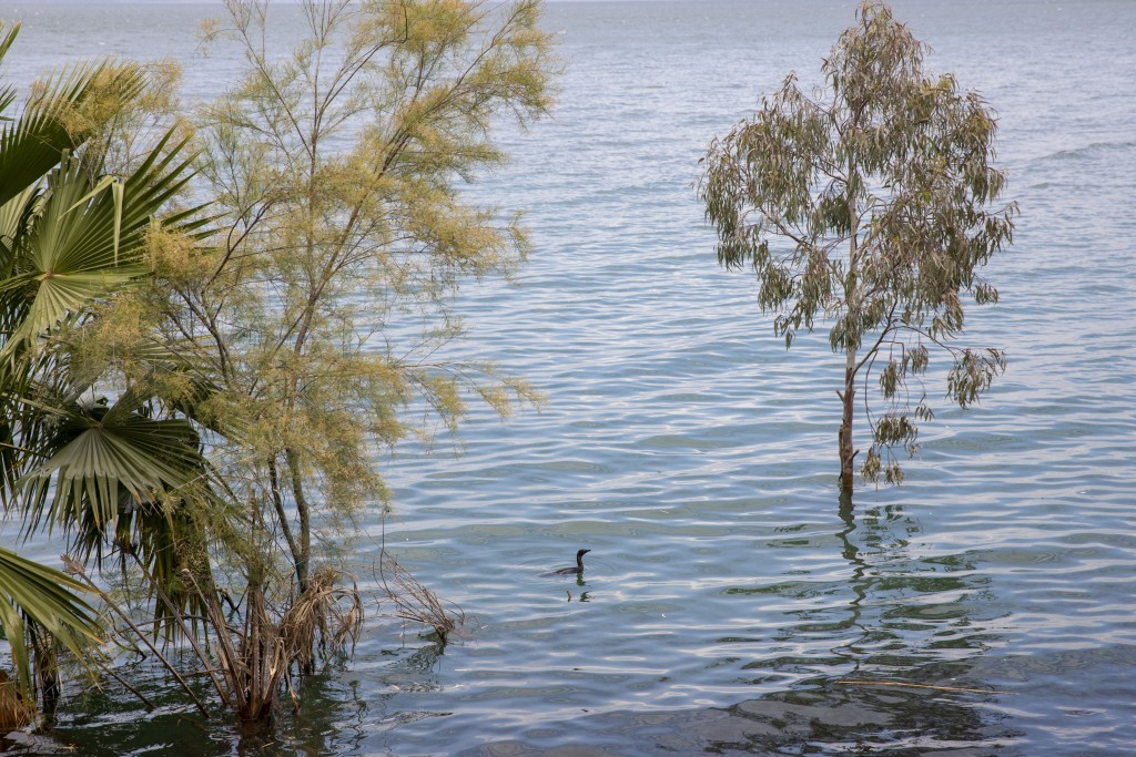 In this Saturday, April 25, 2020 photo, a bird swims where dry land used to be in the Sea of Galilee, locally known as Lake Kinneret. After an especia...
