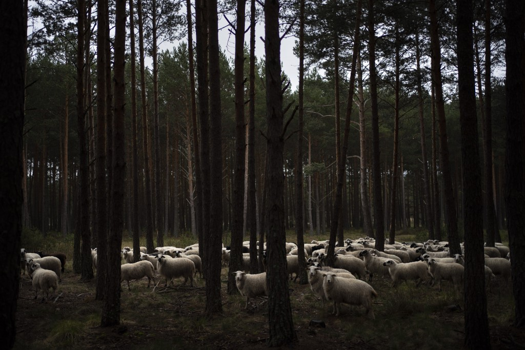 In this April 27, 2020 photo, a flock of sheep move through pine trees on the side of an empty road near Soria, as the lockdown to combat the spread o...