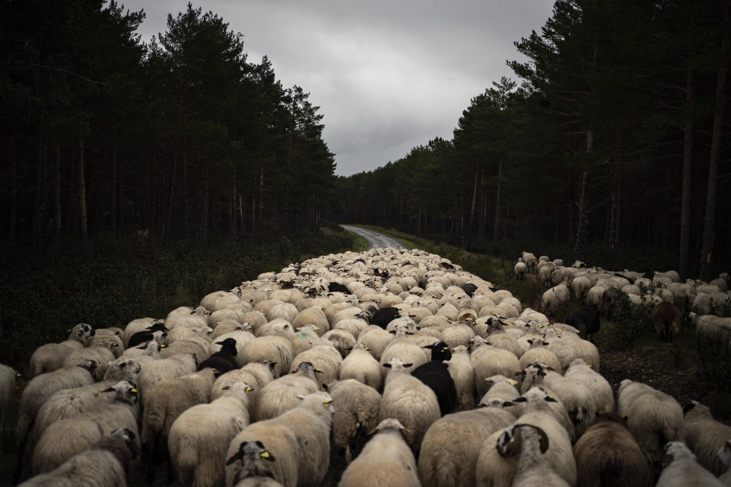 In this April 27, 2020 photo, a flock of sheep move on an empty road near Soria, as the lockdown to combat the spread of the new coronavirus continues...