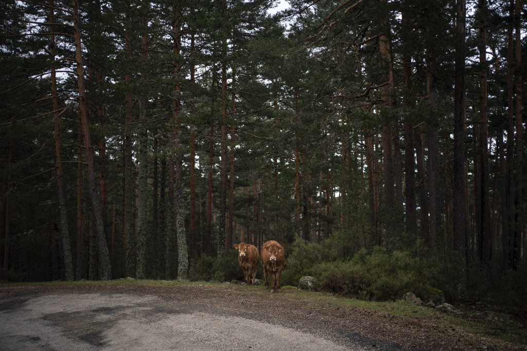 In this April 28, 2020 photo, cows graze among pine trees on the side of a road in Duruelo de la Sierra, Spain, in the province of Soria. Many in Spai...