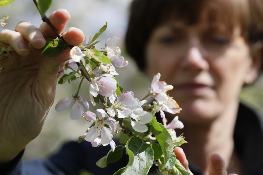 In this May 5, 2020, photo, Ali Capper inspects the blossom on her apple trees at Stocks Farm in Suckley, Worcestershire. Britain's fruit and vegetabl...