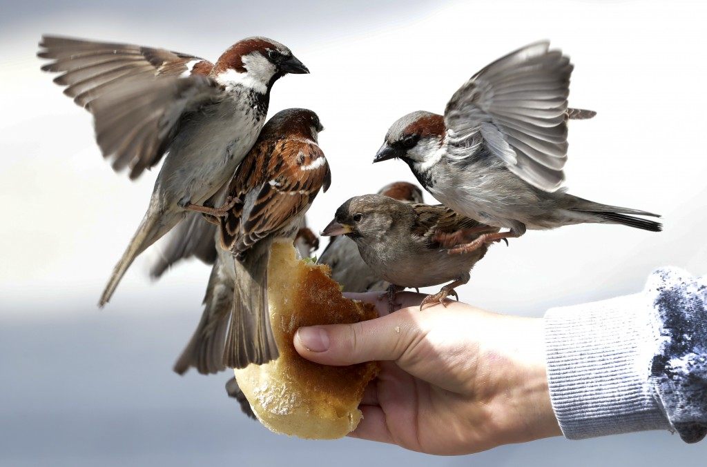 A boy feeds sparrows in front of a bakery at the Brandenburg Gate in Berlin, Germany, Friday, May 15, 2020. (AP Photo/Michael Sohn)
