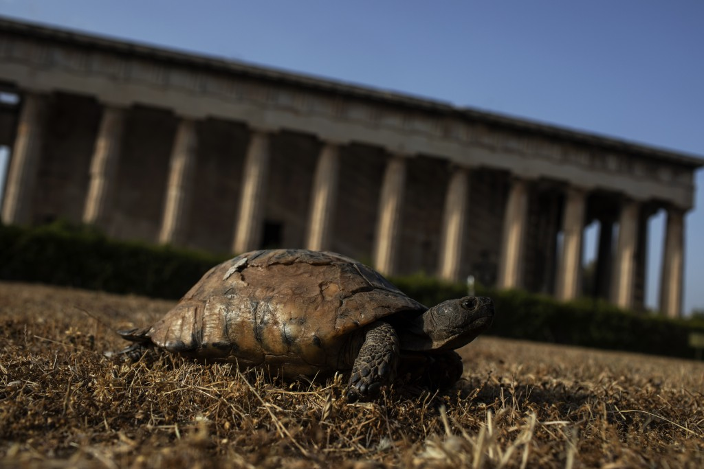 A turtle passes in front of the ancient Temple of Hephaestus in Athens, on Wednesday, May 20, 2020. Greece has entered the third phase of easing lockd...