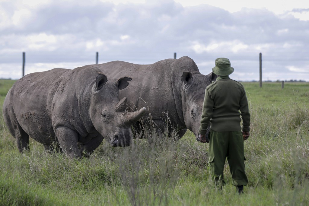 FILE - In this Friday, May 1, 2020 file photo, a ranger observes the last remaining two northern white rhinos Fatu, left, and Najin, right, at the Ol ...
