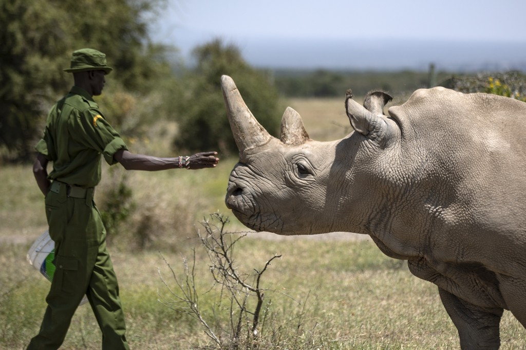 FILE - In this Friday, Aug. 23, 2019 file photo, a ranger reaches out towards female northern white rhino Najin, 30, one of the last two northern whit...