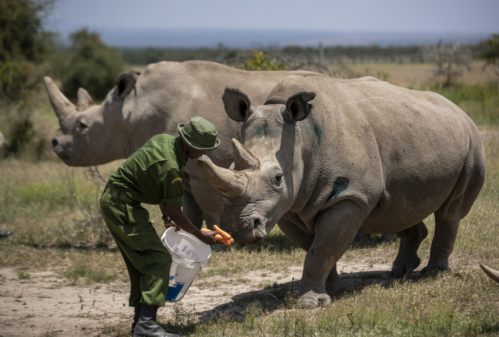FILE - In this Friday, Aug. 23, 2019 file photo, female northern white rhinos Fatu, 19, right, and Najin, 30, left, the last two northern white rhinos...
