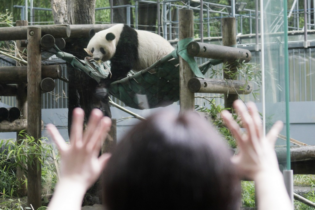 A visitor looks at the 3-year old panda cub Xiang Xiang at the reopened Ueno Zoo in Tokyo Tuesday, June 23, 2020. Hundreds of Tokyo residents flocked ...