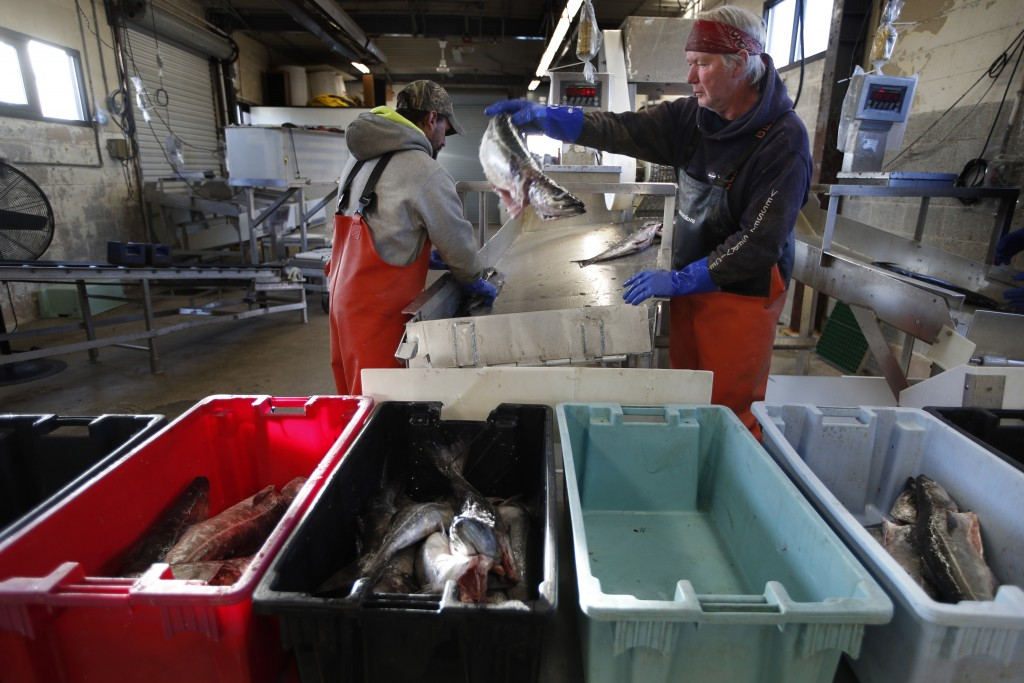 FILE - This March 25, 2020, file photo shows a small load of pollack being sorted as it comes off a boat at the Portland Fish Exchange in Portland, Ma...