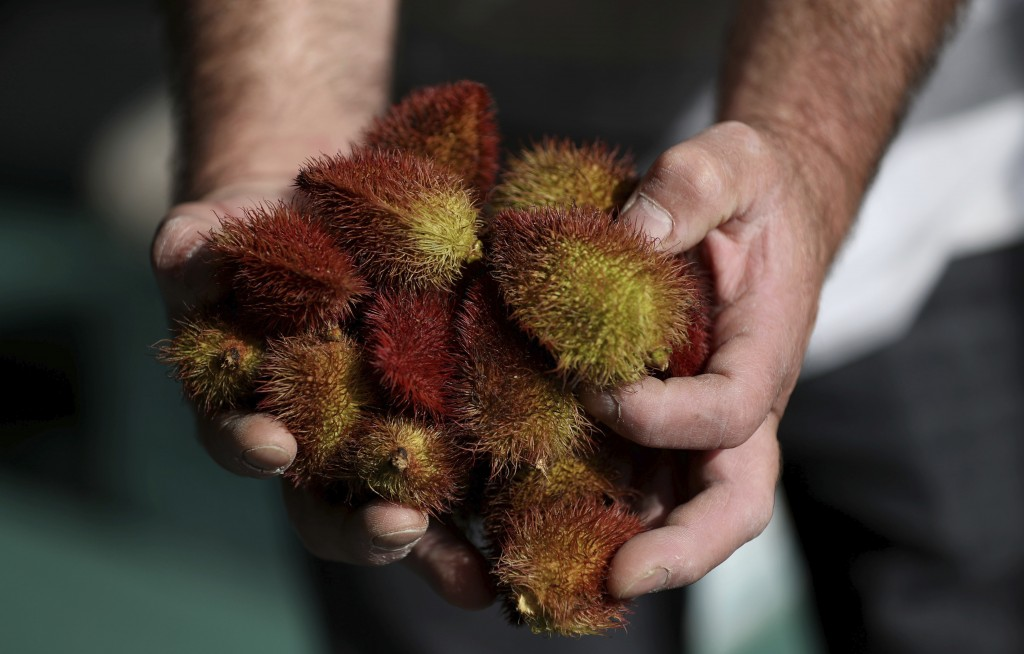 A worker shows a handful of Achiote, a natural red-yellow pigment widely used in the food and cosmetic industries in Bogota, Colombia, Tuesday, July 7...