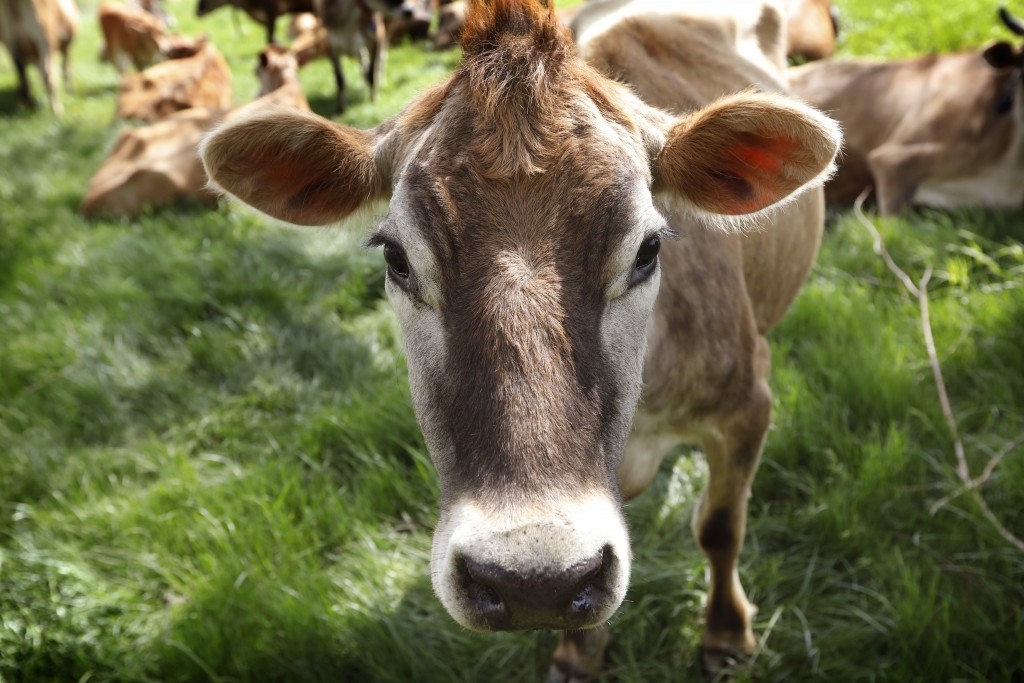FILE - In this May 8, 2018, filephoto, a Jersey cow feeds in a field on the Francis Thicke organic dairy farm in Fairfield, Iowa. Burger King is annou...