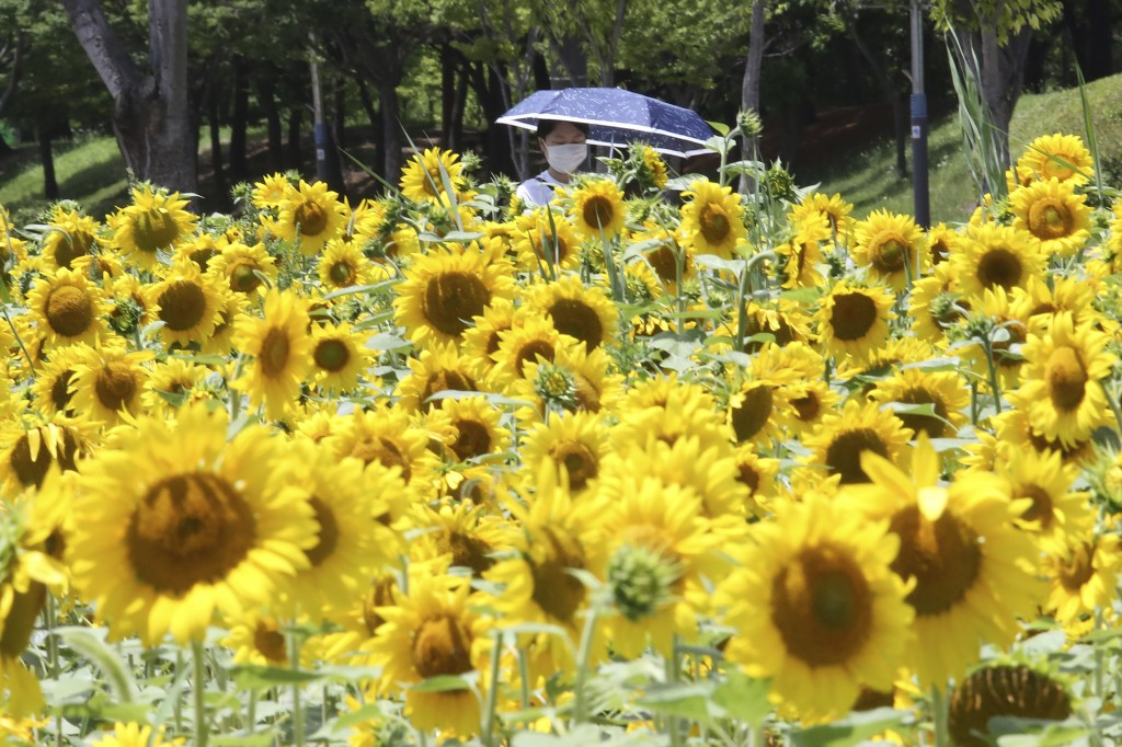 A woman wearing a face mask to help protect against the spread of the new coronavirus walks through a field of sunflowers at a park in Ansan, South Ko...