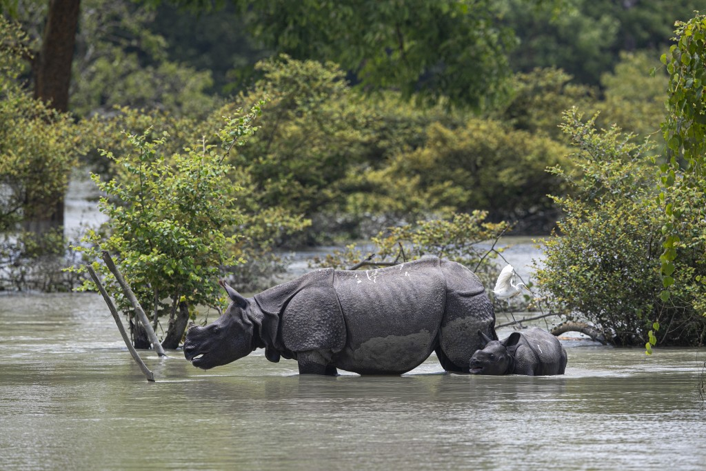 A one horned rhinoceros and a calf wades through flood water at the Pobitora wildlife sanctuary in Pobitora, Morigaon district, Assam, India, Thursday...