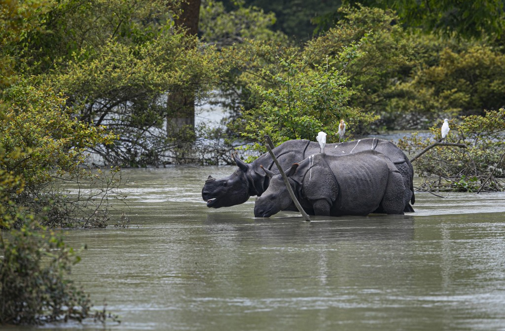 A pair of one horned rhinoceros wade through flood waters at the Pobitora wildlife sanctuary in Pobitora, Morigaon district, Assam, India, Thursday, J...