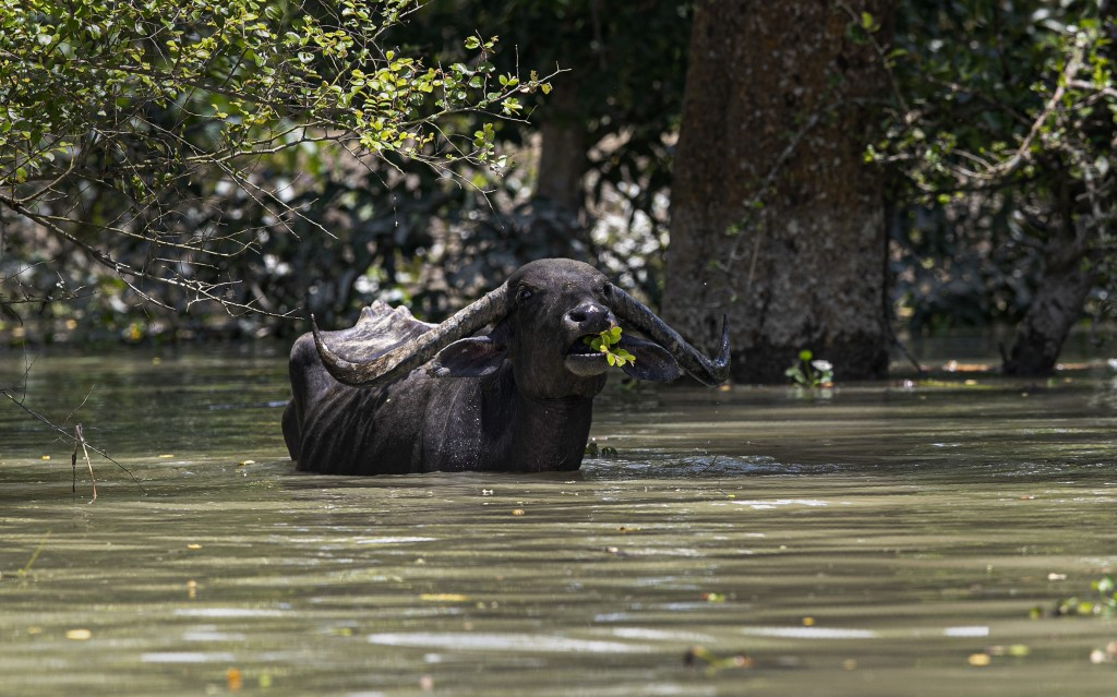 A wild water buffalo eats tree branches standing in flood water at the Pobitora wildlife sanctuary in Pobitora, Morigaon district, Assam, India, Thurs...