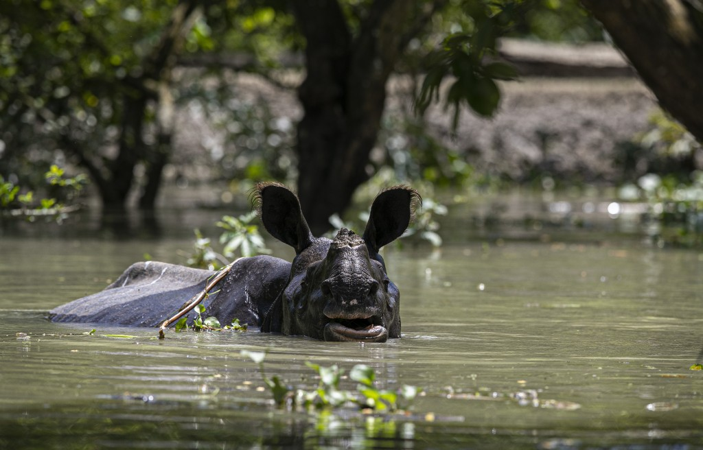 A one horned rhinoceros wades through flood water at the Pobitora wildlife sanctuary in Pobitora, Morigaon district, Assam, India, Thursday, July 16, ...