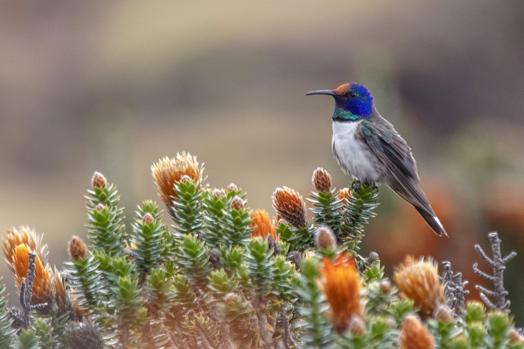 This 2019 photo provided by Paolo David Escobar shows a male Hillstar hummingbird perched on a Chuquiraga jussieui flower in Ecuador. A study released...