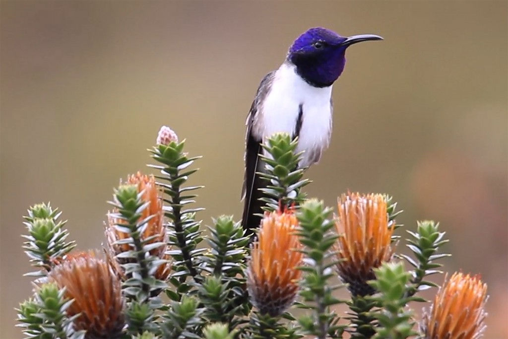 This 2019 photo provided by researcher Fernanda G. Duque shows a male Hillstar hummingbird singing a high frequency song perched on a Chuquiraga jussi...