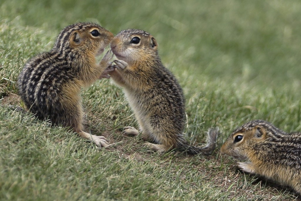 FILE - In this June 18, 2017, file photo, Chipmunks congregate near the ninth hole during the fourth round of the U.S. Open golf tournament at Erin Hi...
