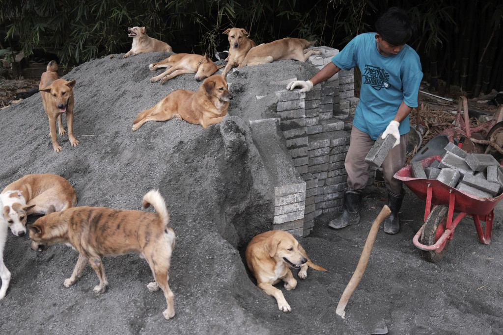 A worker load bricks onto a wheelbarrow as dogs look on at Pejaten Shelter in Jakarta, Indonesia, Thursday, July 2, 2020. Located in 5,000 square mete...