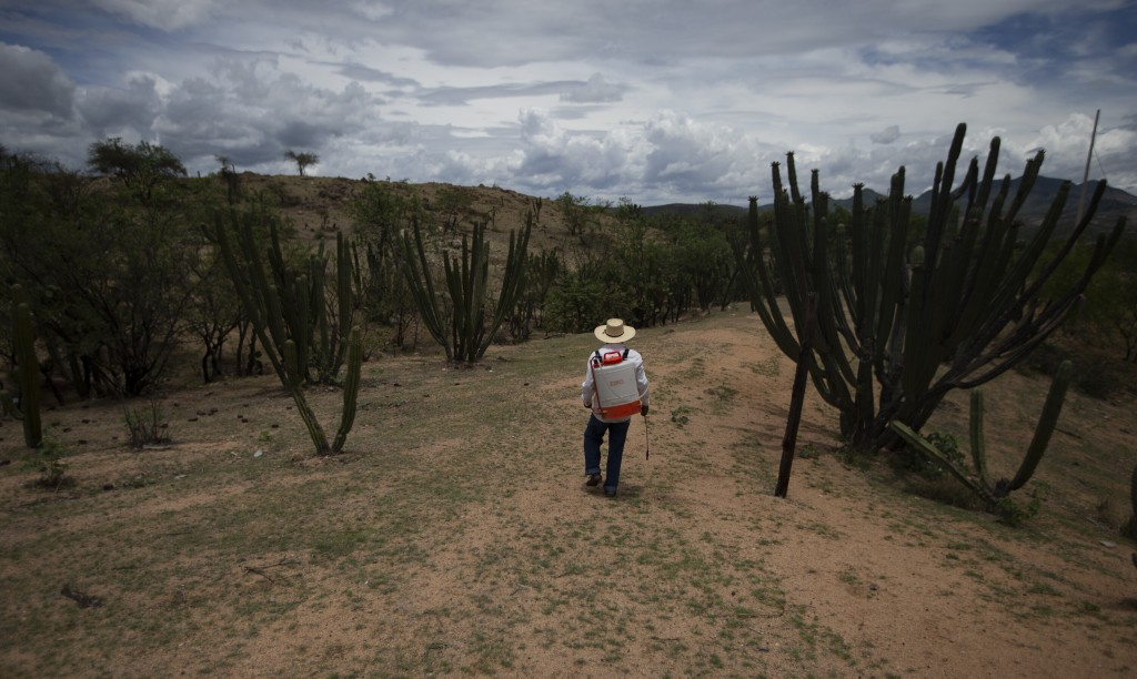 Jorge Vazquez fumigates mango crops in San Jeronimo Xayacatlan, Mexico, Thursday, June 25, 2020. Vázquez was working in a New York restaurant on Sept....