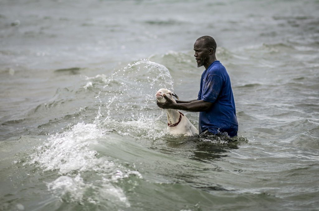 A man washes a sheep with sand and seawater on the beach before it is offered for sale for the upcoming Islamic holiday of Eid al-Adha, on the beach i...