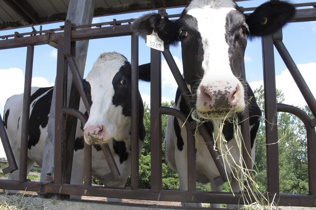 Cows on pasture at the University of Vermont dairy farm eat hay Thursday, July 23, 2020, in Burlington, Vt. When the coronavirus pandemic forced the U...