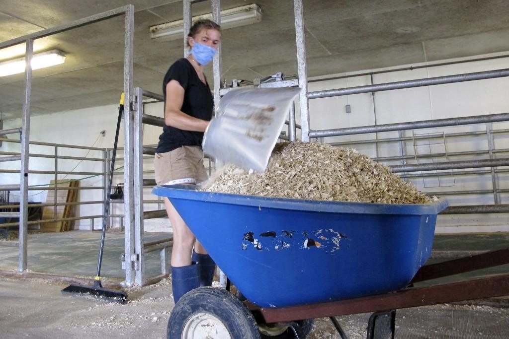 Recent University of Vermont graduate Claudia Sacks shovels out a calf pen at the school's dairy farm on Thursday, July 23, 2020, in Burlington, Vt. W...