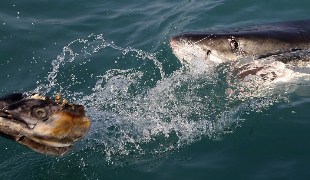 FILE - In this Aug. 11, 2016, file photo, a great white shark tries to bite a fish head being trolled though the water as researchers chum the ocean l...