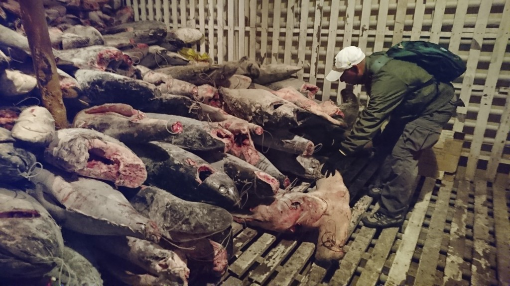FILE - In this Aug. 13, 2017 handout file photo provided by Galapagos National Park, a park ranger takes part in the inspection of a Chinese flagship ...